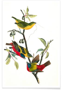 Painted Bunting (by List Collection) - Premium Poster