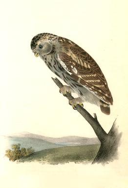 Little Night-Owl (by List Collection) Impression sur alu-Dibond