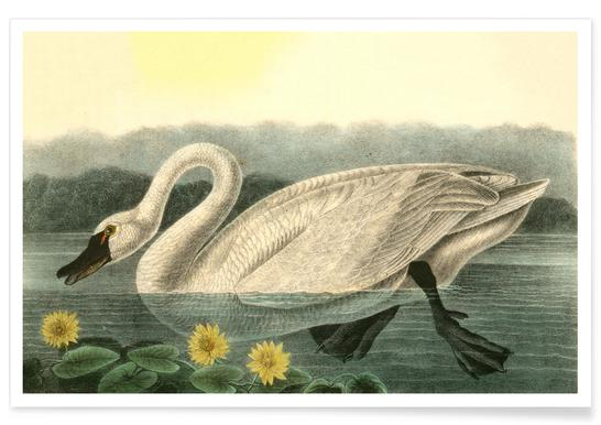 American Swan (by List Collection) Poster
