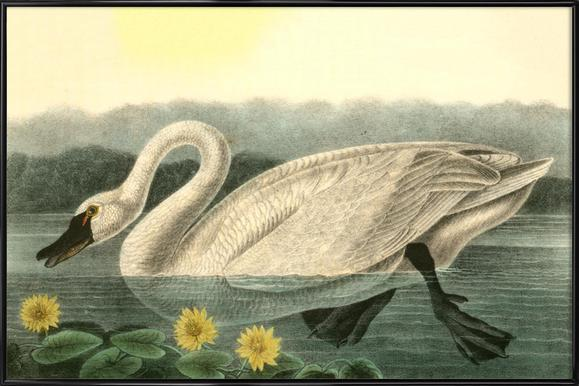 American Swan (by List Collection) Framed Poster