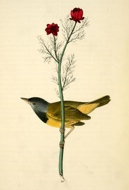 Mourning Ground-Warbler (by List Collection) Aluminium Print