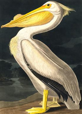 American White Pelican (by List Collection) -Leinwandbild