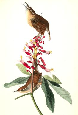 Great Carolina Wren (by List Collection)