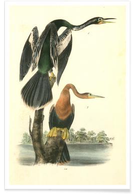 American Anhinga Snake Bird (by List Collection)