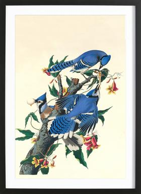 Blue Jay, 1831 (by List Collection) ingelijste print