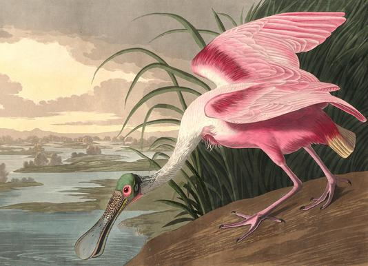 Roseate Spoonbill (by List Collection) canvas doek