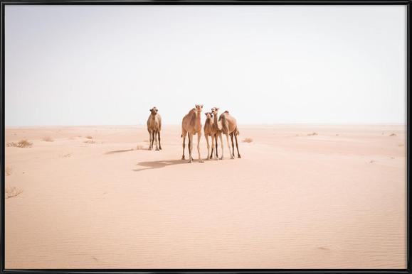 Camels Sahara affiche encadrée