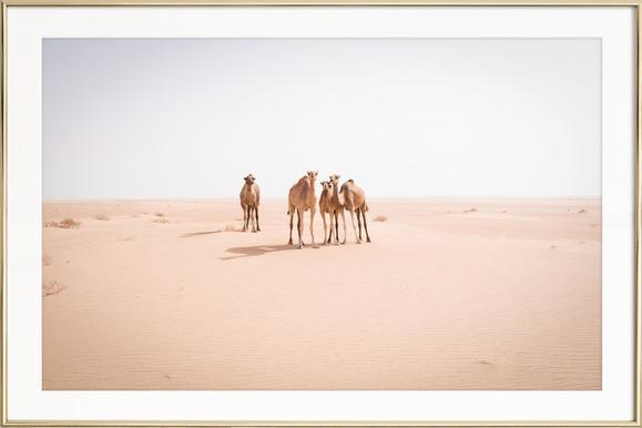 Camels Sahara - Affiche sous cadre en aluminium