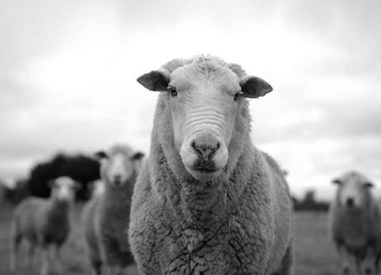 The Sheep -Leinwandbild