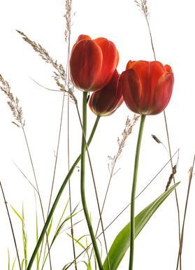 Flora - Tulpe Canvas Print