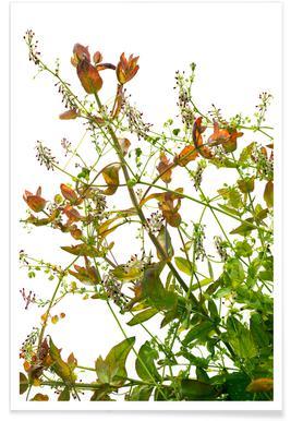 Flora - Eukalyptus - Premium Poster