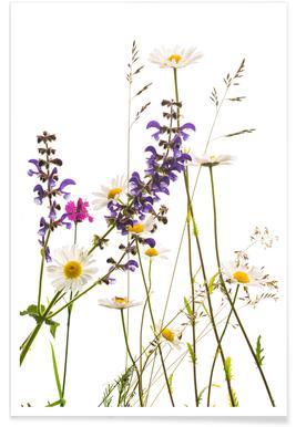 Flora - Margerite