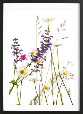Flora - Margerite ingelijste print
