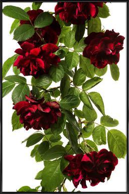 Flora - Rose Framed Poster