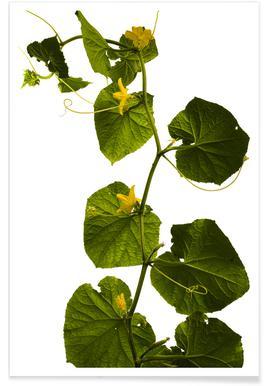 Flora - Gurke - Premium poster