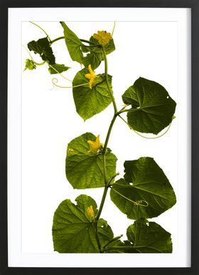 Flora - Gurke - Poster in Wooden Frame