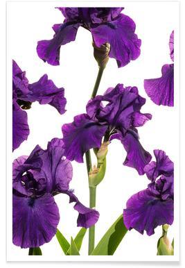Flora - Schwertlilie 2