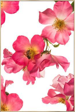 Flora - Rose 2 Poster in Aluminium Frame
