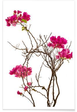Flora - Bougainvillea