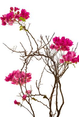 Flora - Bougainvillea alu dibond