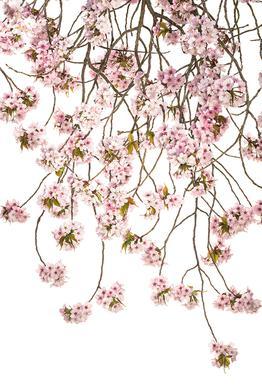 Flora - Japanische Kirsche 2