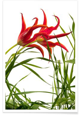 Flora - Lilienblütige Tulpe