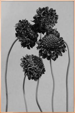 Staub - Schokoladenblume