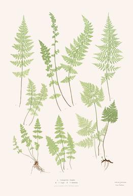 Ferns Aluminium Print