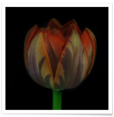 Tulipe - Photo affiche