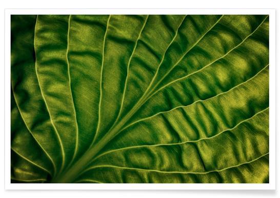 Leaf of a Hosta
