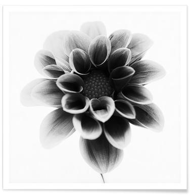 Monochrome Dahlien-Fotografie -Poster