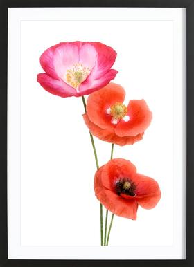 Colourful Poppies ingelijste print
