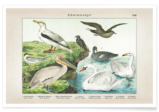 Schwimmvögel 28 - Schubert