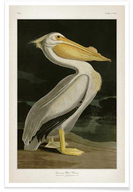 American White Pelican - Audubon Poster