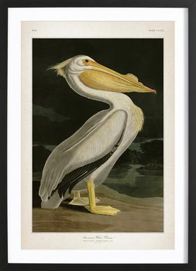 American White Pelican - Audubon Plakat i træramme
