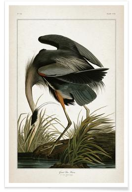 Great Blue Heron - Audubon Poster