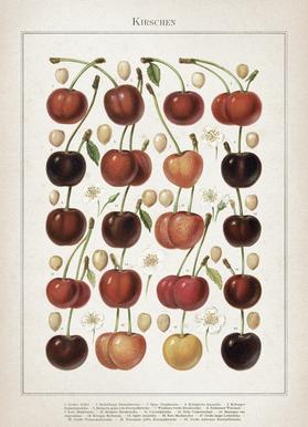Kirschen - Meyers Canvas Print