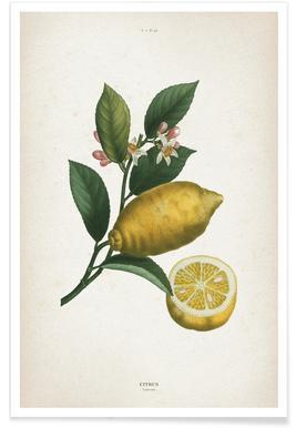 Citrus Limonium - Redouté poster