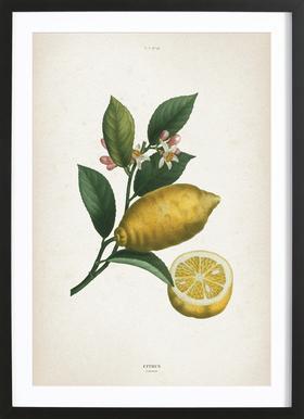 Citrus Limonium - Redouté ingelijste print