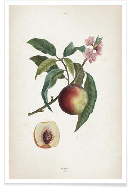 Persica Vulgaris - Redouté Poster