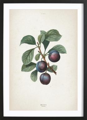 Prunus Myrobalana - Redouté Framed Print