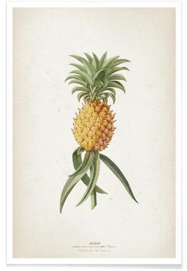 Ananas Aculeatus - Ehret poster