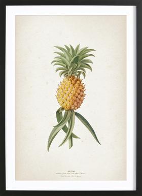 Ananas Aculeatus - Ehret Framed Print