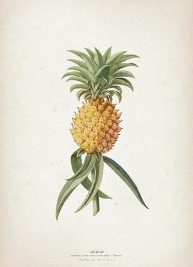Ananas Aculeatus - Ehret
