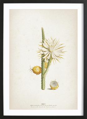 Cereus Altissimus - Ehret Framed Print