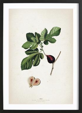 Ficus - Ehret -Bild mit Holzrahmen