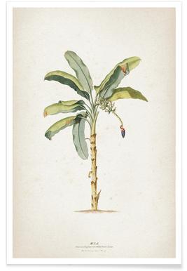 Musae Maculato - Ehret Poster