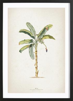Musae Maculato - Ehret Plakat i træramme