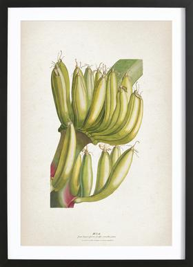 Musae Primus - Ehret Framed Print