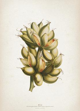 Musae Priores - Ehret Canvas Print